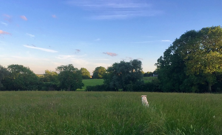 dog jumping in field