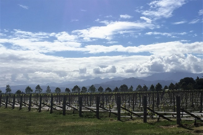 vines and mountains in the distance on the marlborough region of New Zealand