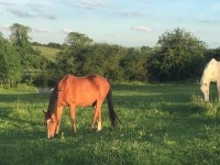 Horses grazing in a field at home