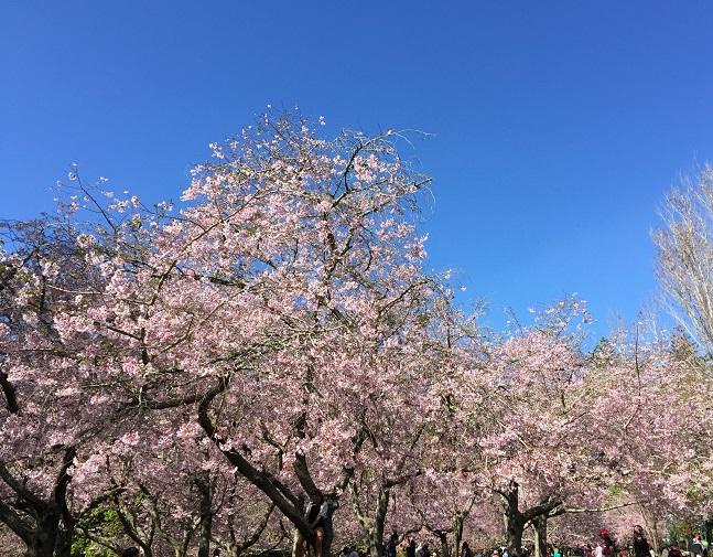 pibk cherry blossom trees against blue sky